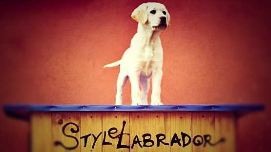 stylelabrador