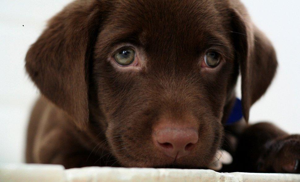 cuccioli chocolate labrador