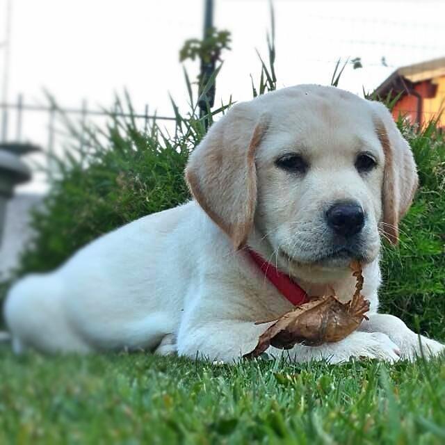 cucciolone labrador stylelabrador
