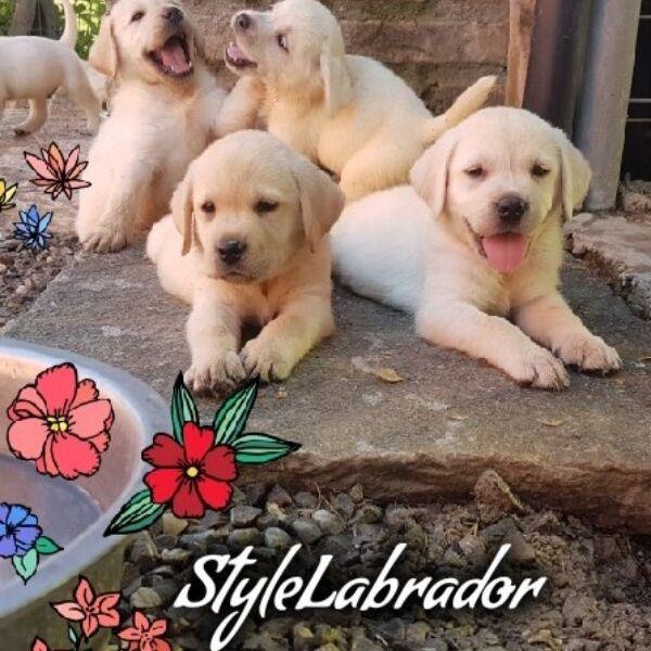 cuccioli di labrador biondi stylelabrador